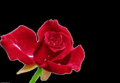 roses_by_JL-chrysalis_%287%29.png?type=w