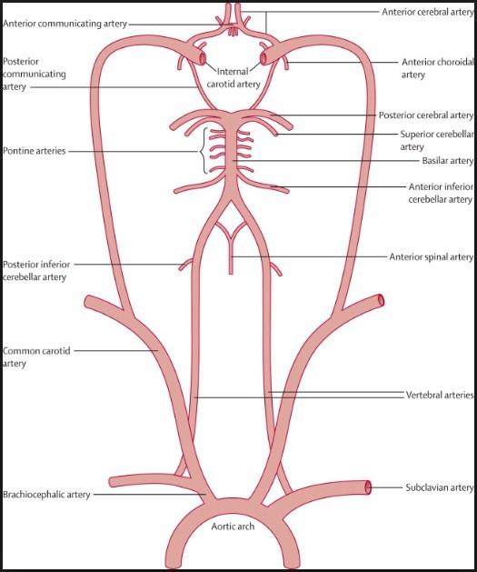 Vertebral Artery Basilar Artery